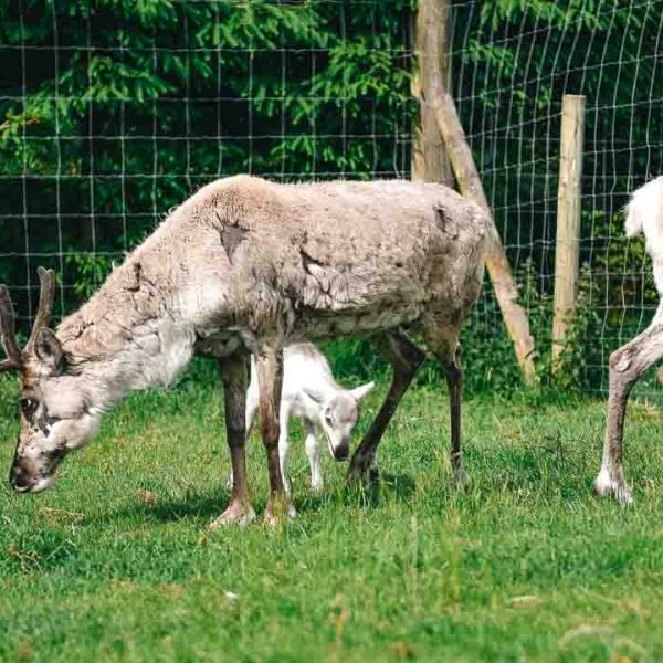 baby reindeer at Gower Fresh Christmas Trees