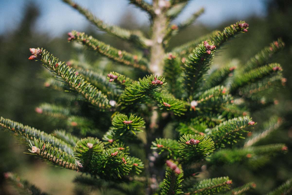 Fresh Christmas Trees.Fraser Fir Gower Fresh Christmas Trees
