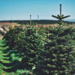 Gower Fresh Christmas Trees Farm in Swansea