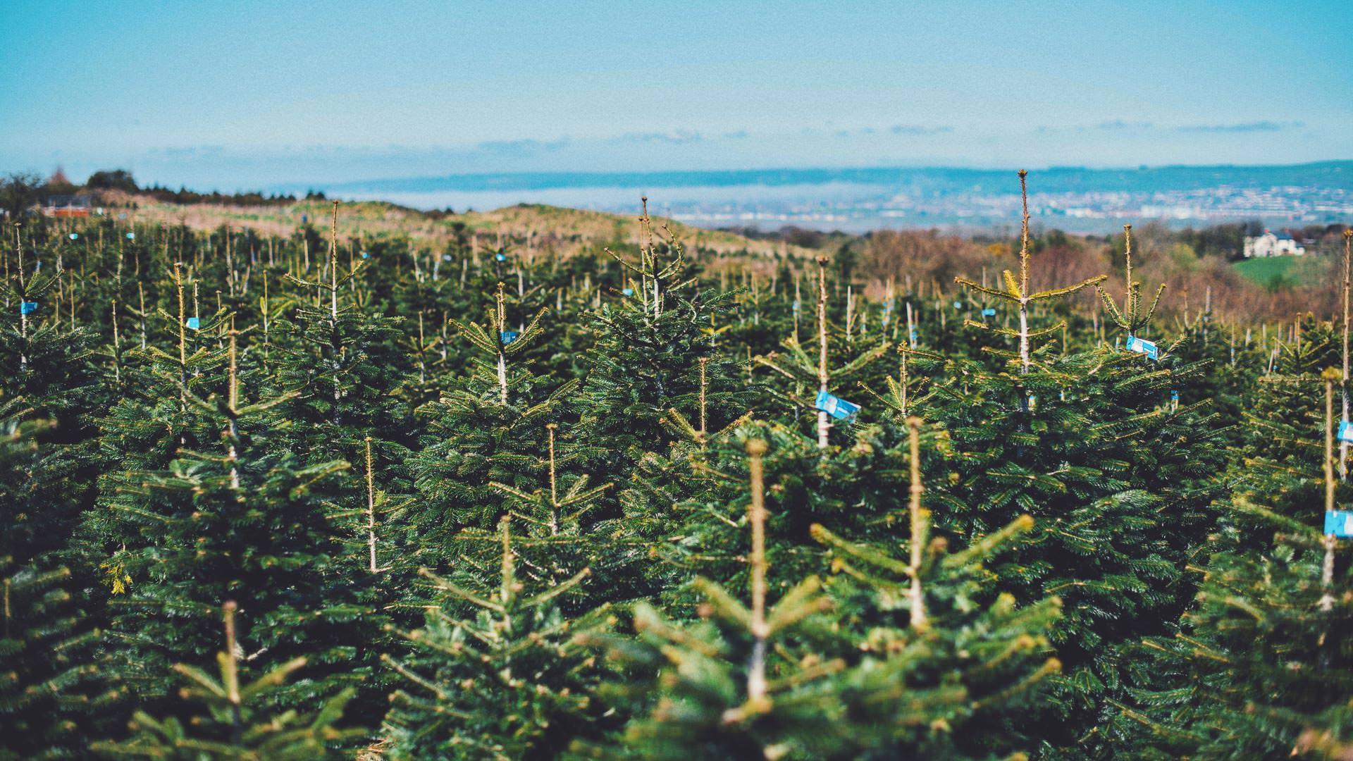 Gower Fresh Christmas Trees- premium supplier of Christmas trees for UK