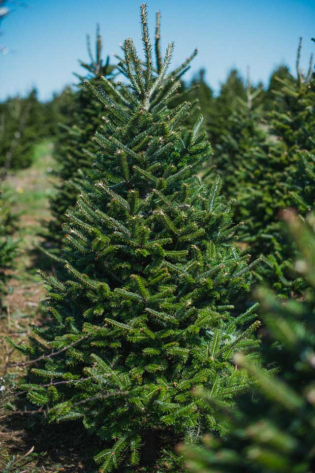 Gower Fresh Christmas Trees Premium Supplier Of Christmas