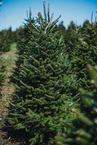 Fresh Christmas Trees Near Me.Gower Fresh Christmas Trees Premium Supplier Of Christmas