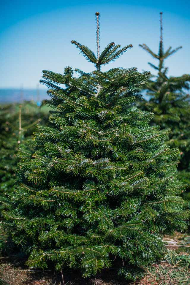 One of the most popular Christmas trees - Gower Fresh Christmas Trees- Premium Supplier Of Christmas Trees For UK
