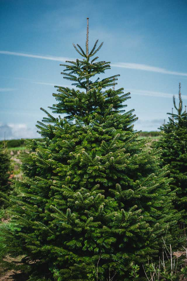 The Traditional Christmas Tree of old. - Gower Fresh Christmas Trees- Premium Supplier Of Christmas Trees For UK