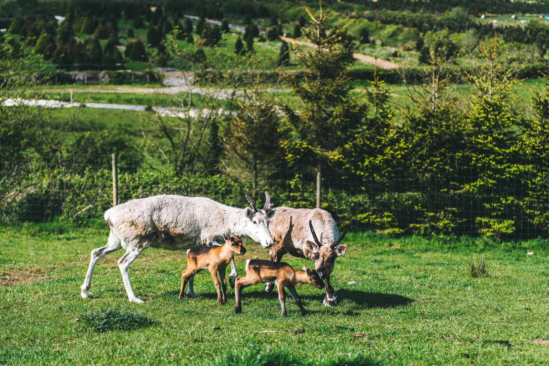 Meet And Feed The Reindeer Fresh Christmas Trees