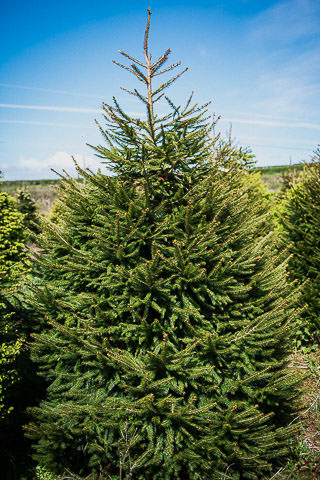 Gower-Fresh-Christmas-Trees-Norway-spruce