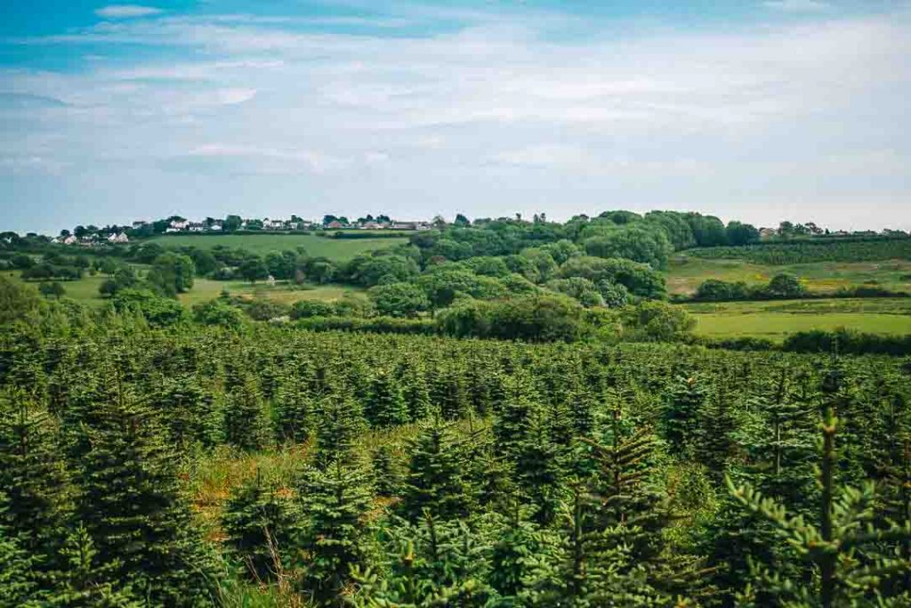 Fresh Christmas Trees in Wales