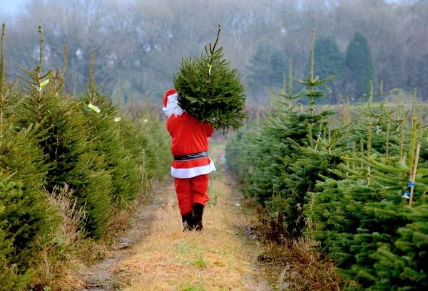 Santa carrying a Christmas tree from Gower Fresh Christmas Trees Wales