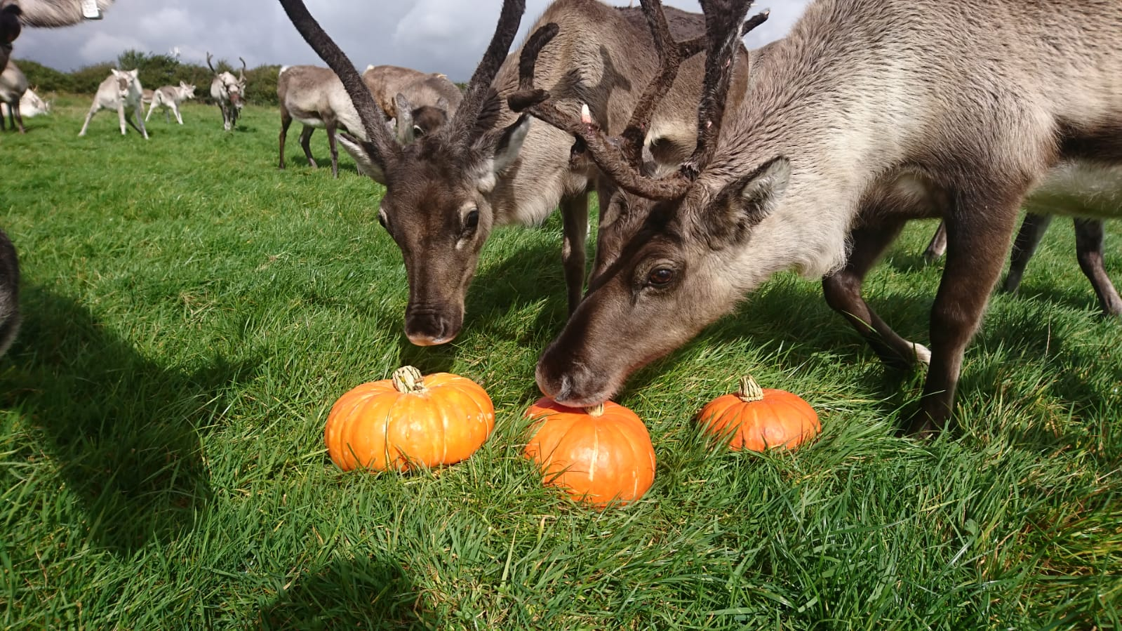 Halloween and reindeer-Gower Fresh Christmas Trees