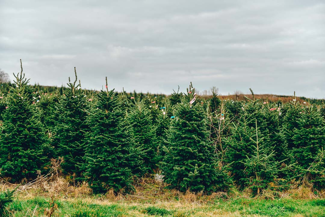 Real Christmas Trees in Wales