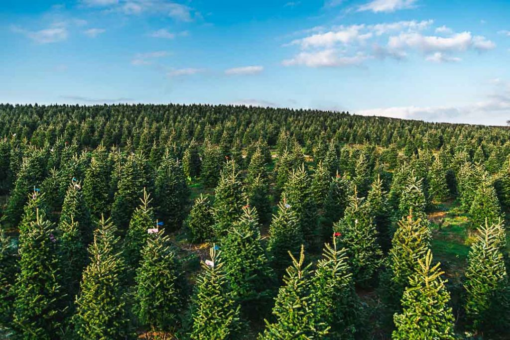 Gower Christmas trees wholesale
