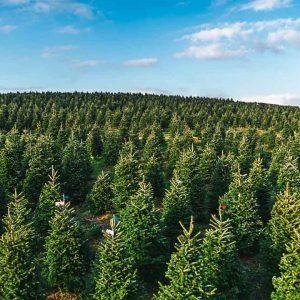 Wholesale Christmas Trees farm supplying trees to the whole of UK