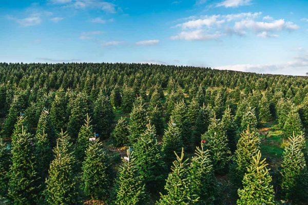 Wholesale Christmas Trees farm supplying trees to the whole of UK