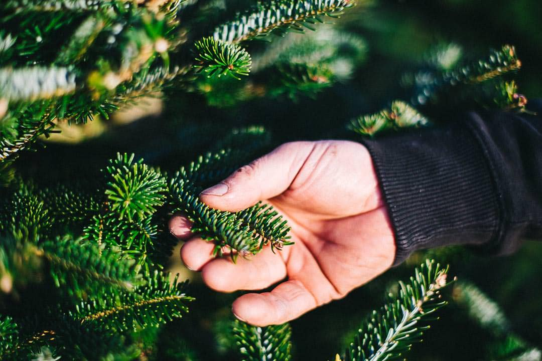 Frasier Fir Wholesale Christmas Trees