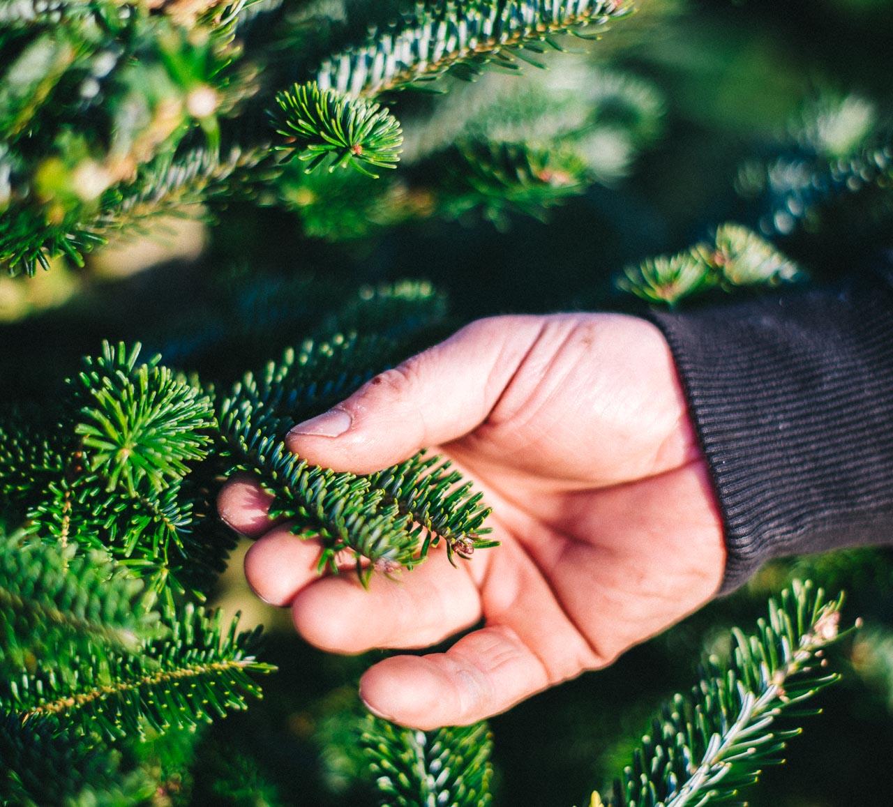 BUY FRESH CHRISTMAS TREE ONLINE - Gower Fresh Christmas Trees